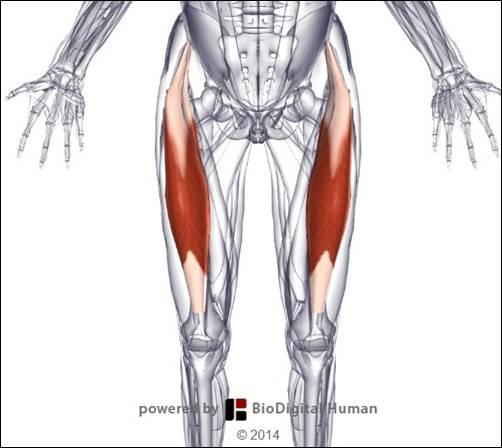 大腿直筋1